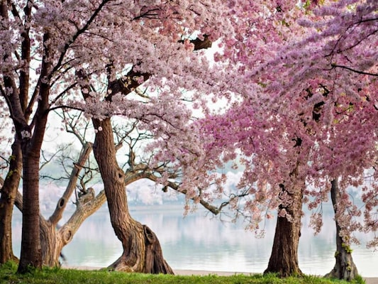 A Row Of Cherry Trees Bloom At Sunrise On The Edge Of The Tidal Basin. Washington- Usa - Anonymous